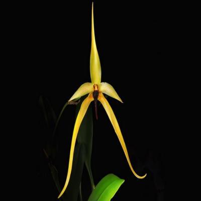 Orquídea Bulbophyllum Wilbur Chang