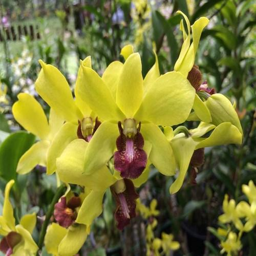 Orchid Dendrobium chaisri gold