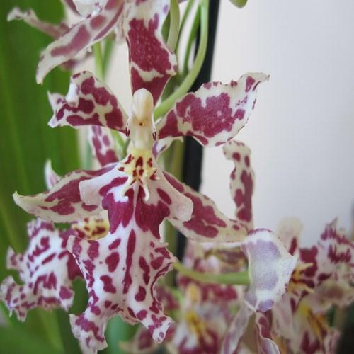 Orchideee oncidium nanbo walt