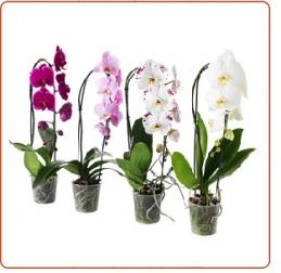 Orchidees phalaenopsis fleuries a vendre achat