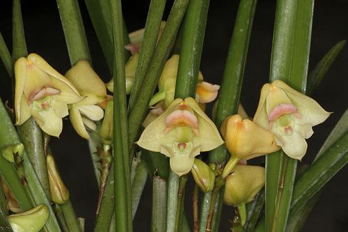 Orquídea Polystachya galeata