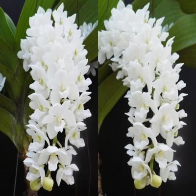 Orchidée Rhynchostylis gigantea var alba