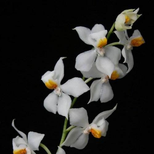 Orchidea Osmoglossum pulchellum