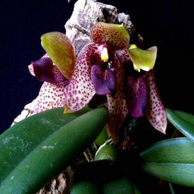Orquídea Trias disciflora
