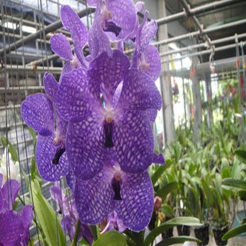 Orquídea Vanda pakchong blue