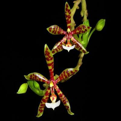 Orchidée Phalaenopsis pantherina