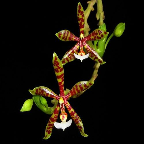 Orhidee Phalaenopsis pantherina