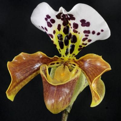 Orquídea Paphiopedilum American hybride