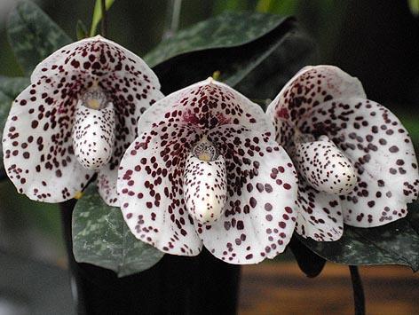Orchid Paphiopedilum bellatulum