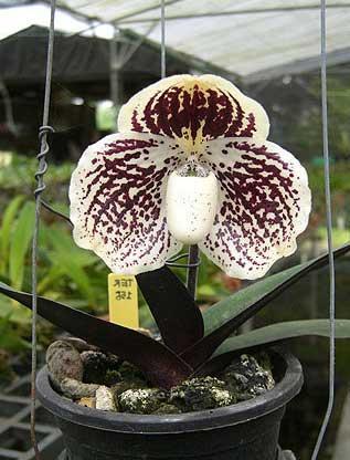 Orquídea Paphiopedilum godefroyae