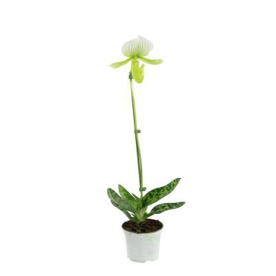 Orchid Paphiopedilum maudiae