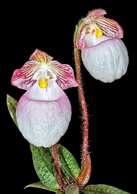 Paphiopedilum micranthum orchid for sale