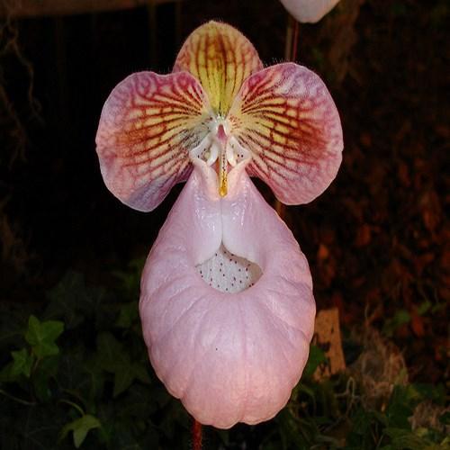 Paphiopedilum micranthum orchidee vente