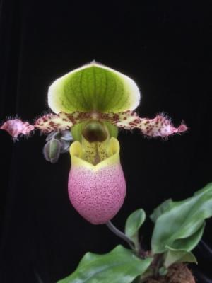 Orquídea Paphiopedilum Pinocchio