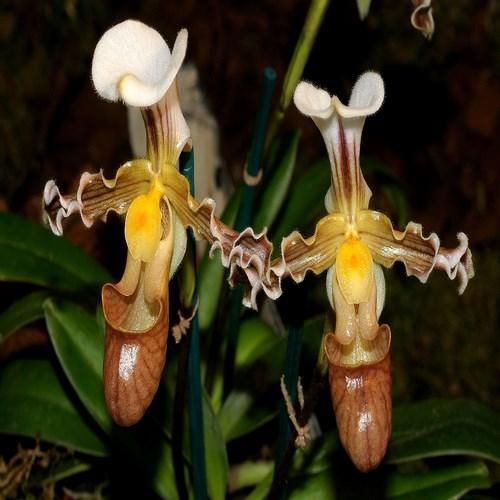 Orquídea Paphiopedilum tranlinianum