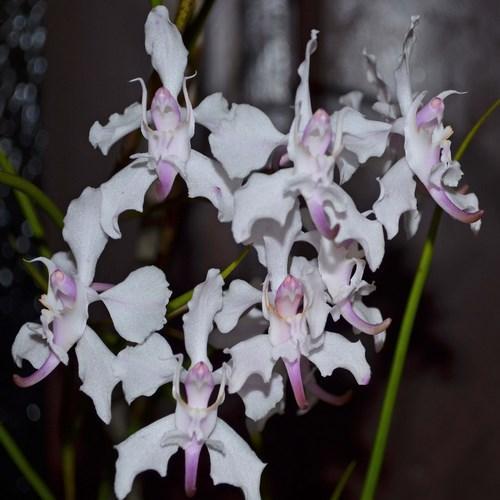 Orquídea Vanda Papilionanthe vandarum