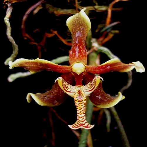 Paraphalaenopsis labukensis 1