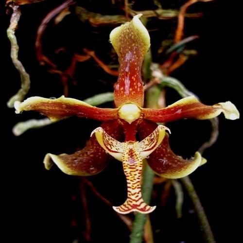 Orchidee Paraphalaenopsis labukensis