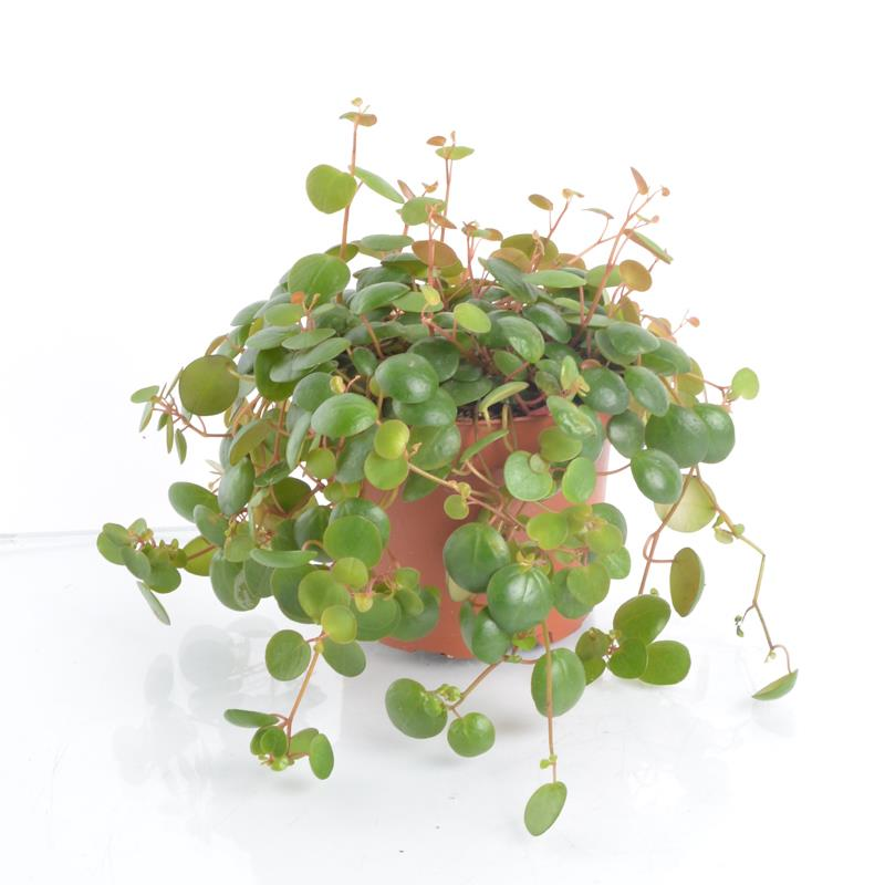 Peperomia pepperspot a vendre