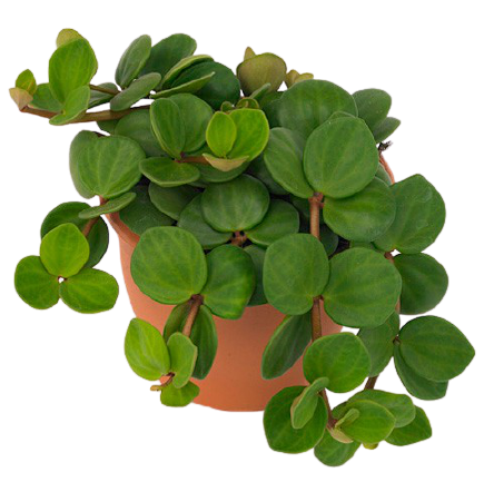 Peperomia tetraphylla hope removebg preview 1