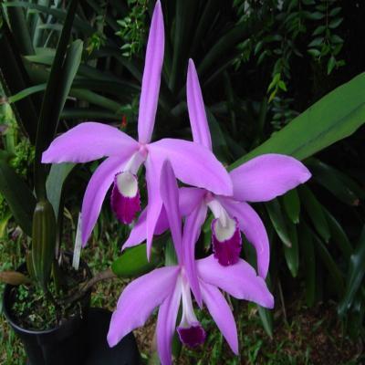Orchid Laelia Perrinii