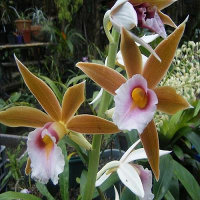 Orchidée Phaius wallichii
