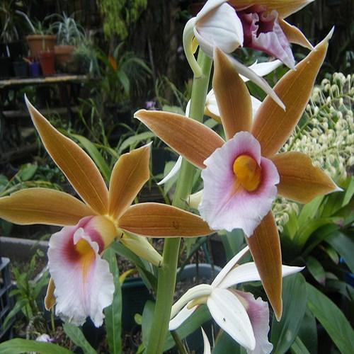 Orchidea Phaius wallichii