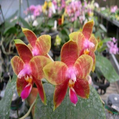 Orquídea Phalaenopsis Guadelupe Pineda 'Yaphon'