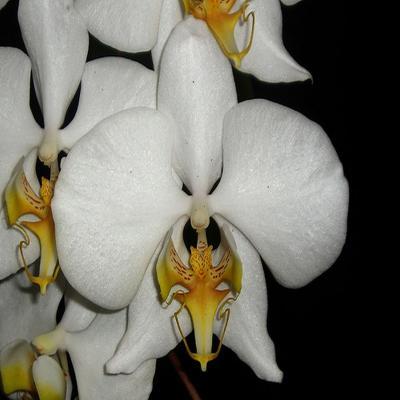 Orchidée Phalaenopsis amabilis f aurea