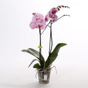 Phalaenopsis 2 branches rose