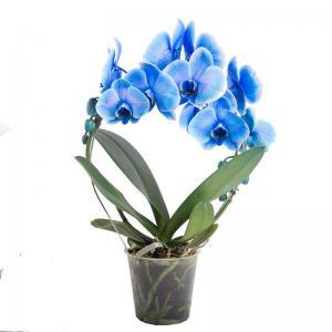 Phalaenopsis bleu livraison orchidee fleurie