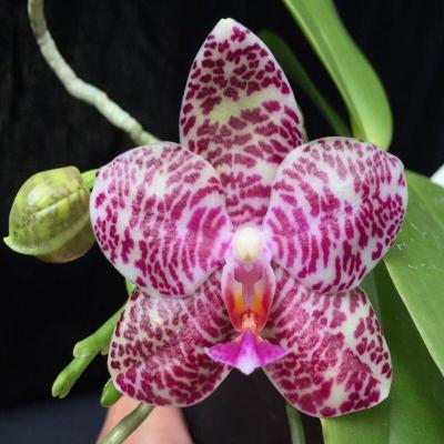 Orquídea Phalaenopsis Brother Glory