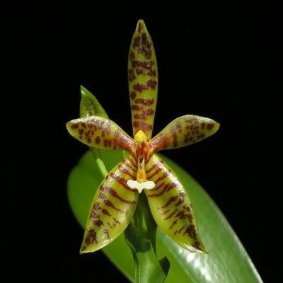 Orquídea Phalaenopsis cornu-cervi