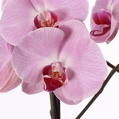 Phalaenopsis deux branche rose