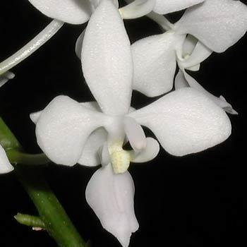 Phalaenopsis equestris f alba