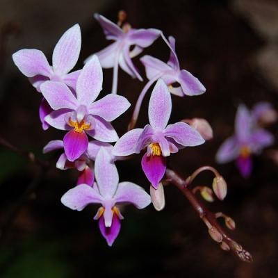 Orchidea Phalaenopsis equestris