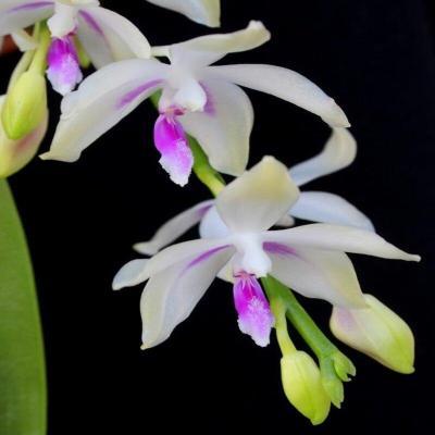Orchidee Phalaenopsis fimbriata