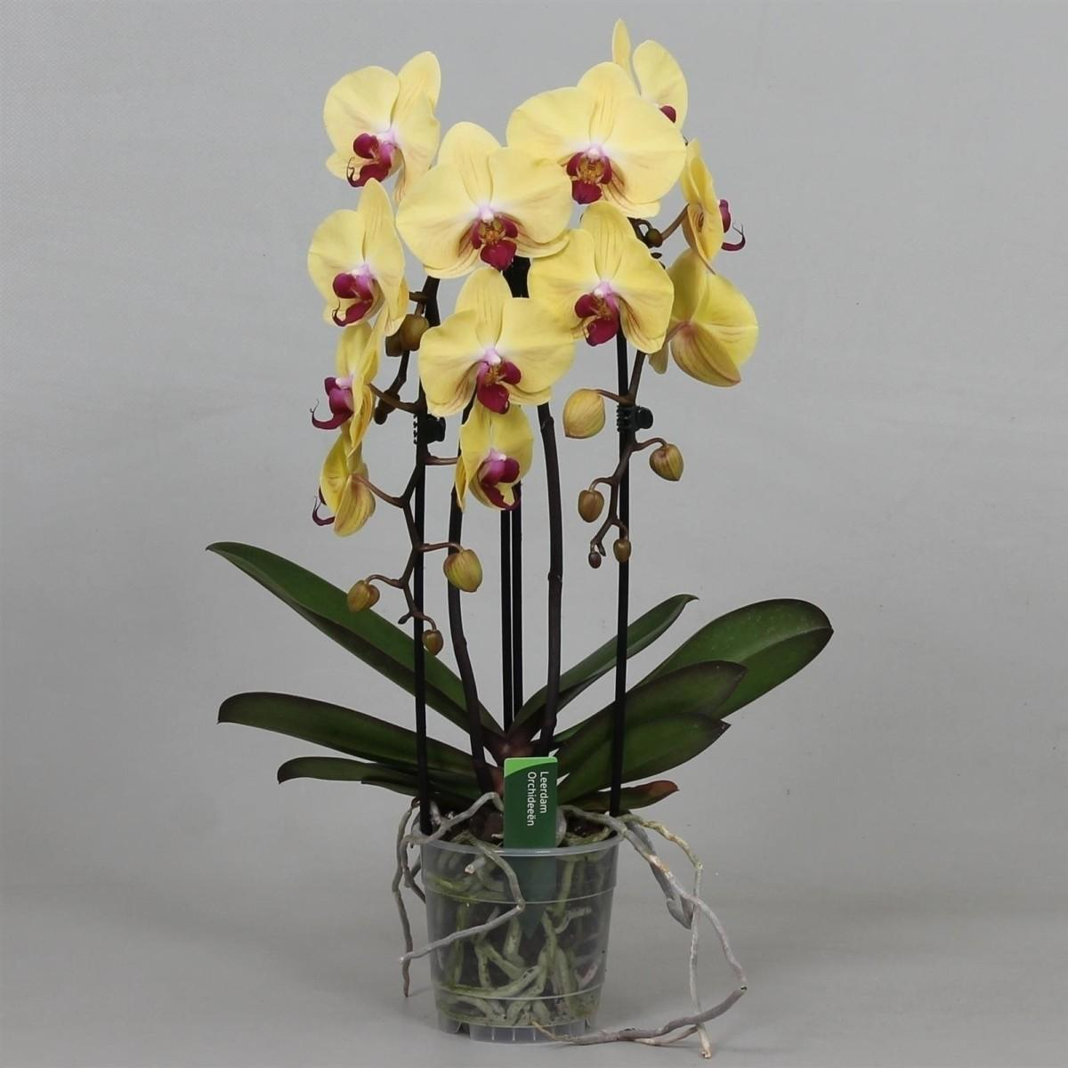Phalaenopsis goldion