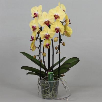 Orchidee Phalaenopsis GOLDION