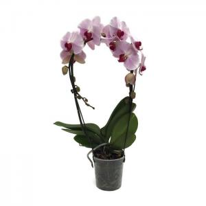 Phalaenopsis hybride arceau mirror rose