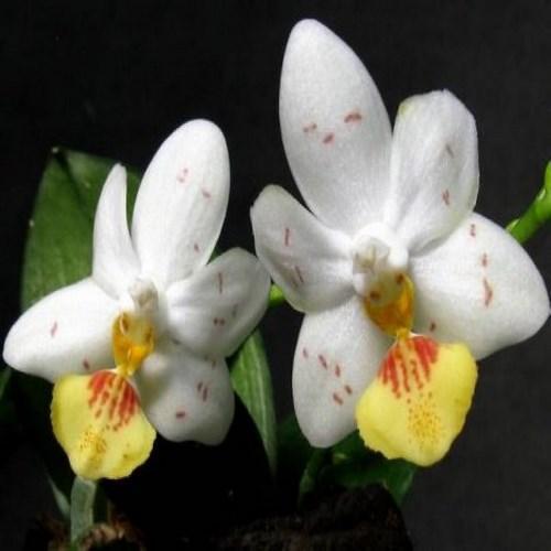 Orhidee Phalaenopsis lobbii x tetraspis