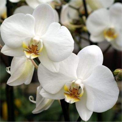 Orchid Phalaenopsis 1 white branch
