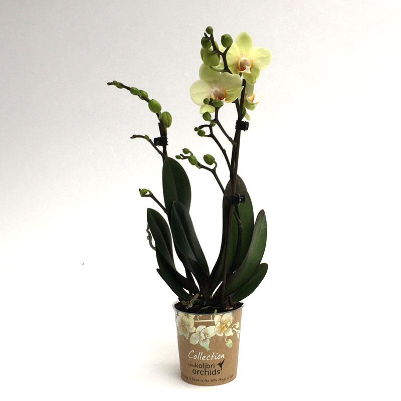 Phalaenopsis orchidee fleurie livraison kolibri jaune