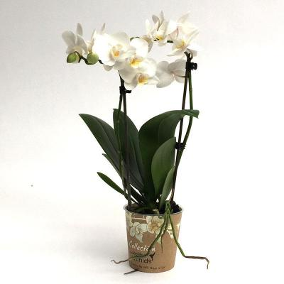 Orhidee Phalaenopsis 2 branches Kolibri blanc