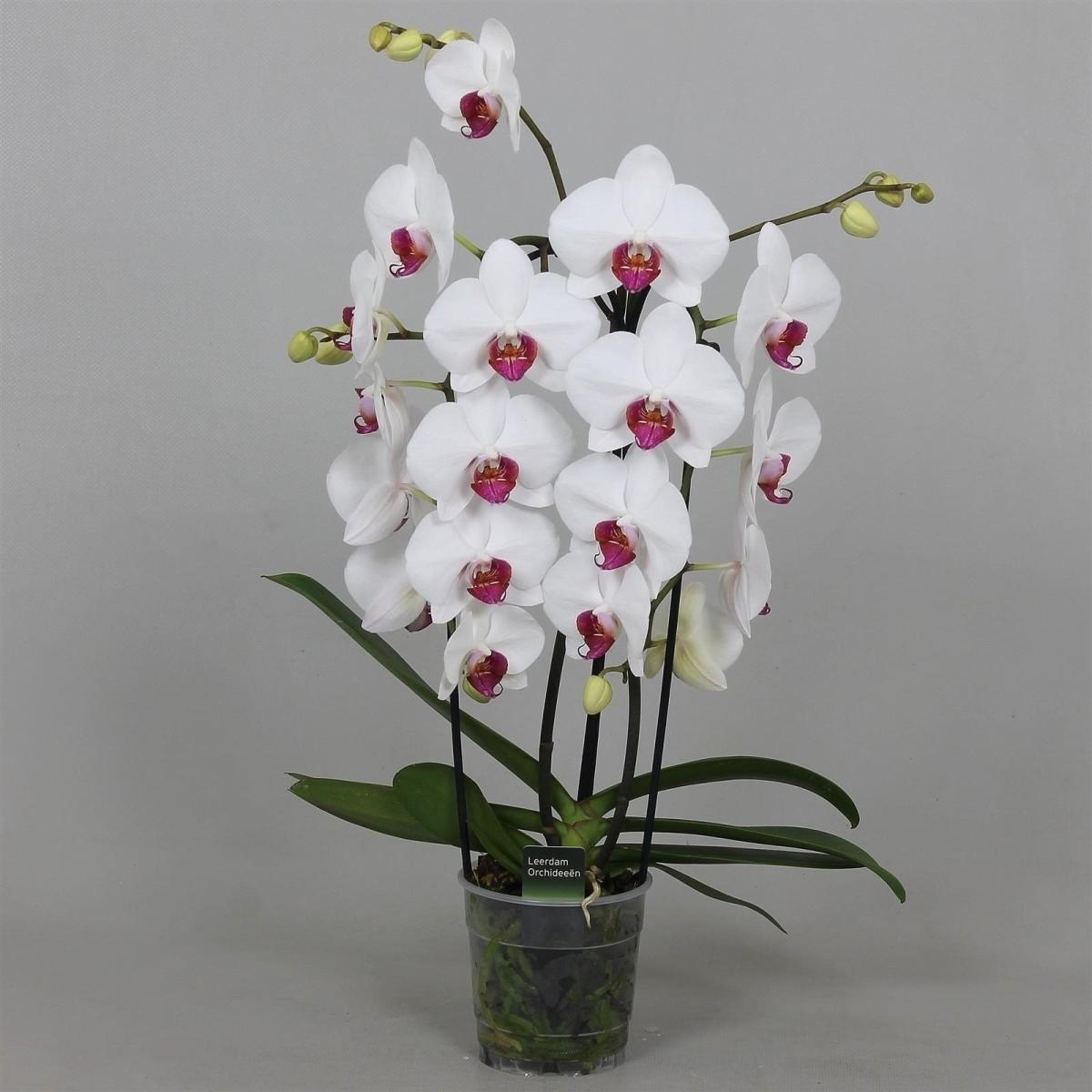 Phalaenopsis red lips