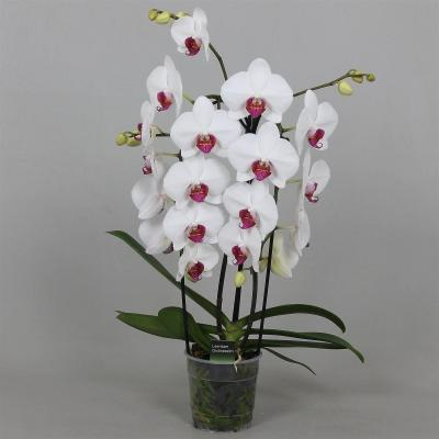 Orchidee Phalaenopsis 'Red Lips'