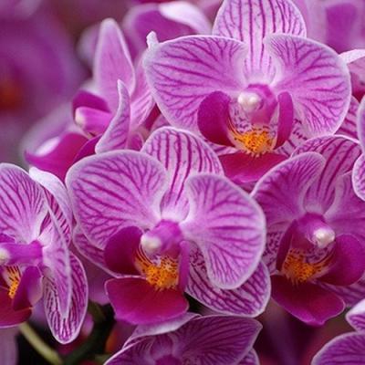 Orchid Phalaenopsis Sogo Vivien