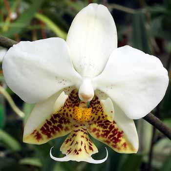 Phalaenopsis stuartiana 1