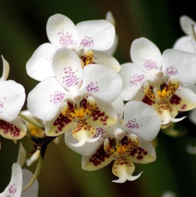 Orchidée Phalaenopsis stuartiana var. punctatissima