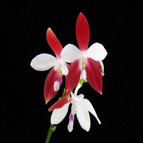 """Orhidee Phalaenopsis tetraspis """"C1"""